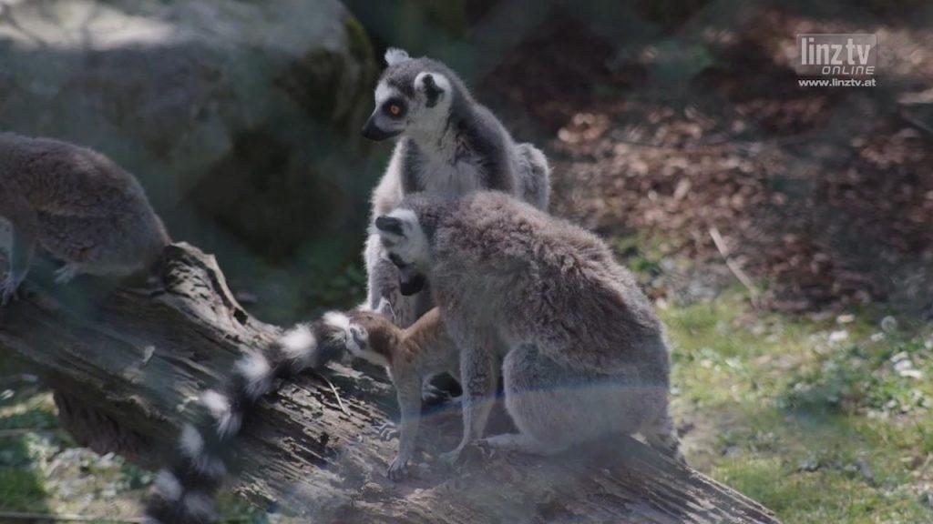 Reger Nachwuchs im Linzer Zoo