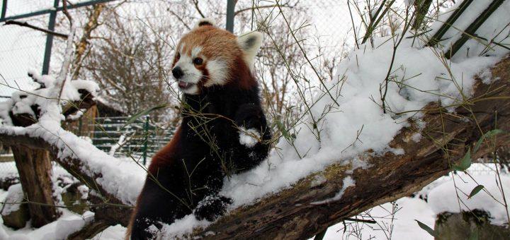 Winterspaziergang Rote Pandas